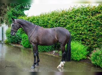 KWPN, Mare, 5 years, 16 hh, Black