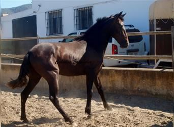 Andalusier, Hengst, 2 Jahre, 156 cm, Rappe