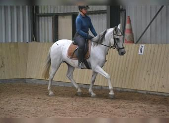 Other Breeds, Mare, 14 years, 15 hh, Gray