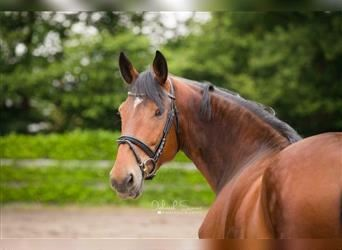 Other Breeds, Mare, 2 years, 16 hh, Brown