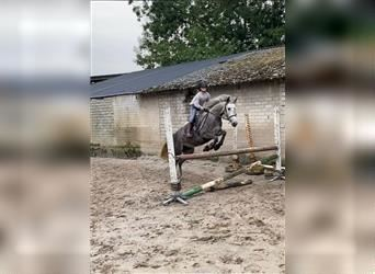 French riding pony, Mare, 5 years, 14.1 hh, Gray
