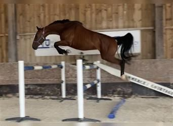 Selle Français, Mare, 4 years, 16 hh, Brown