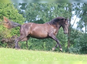 P.R.E., Mare, 2 years, 16 hh, Can be white