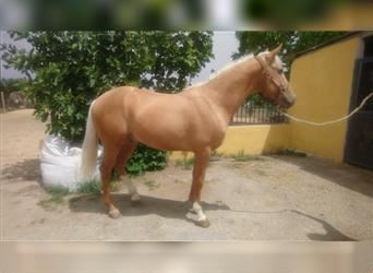Andalusier, Hengst, 3 Jahre, 159 cm, Palomino