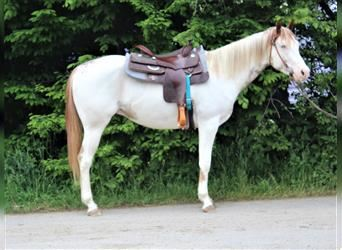 Paint Horse, Gelding, 3 years, 14.3 hh, Overo-all-colors