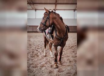 Hungarian Sport Horse Mix, Gelding, 4 years, 13.1 hh, Gray-Red-Tan