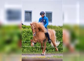 Icelandic Horse, Mare, 7 years, 13.1 hh, Brown