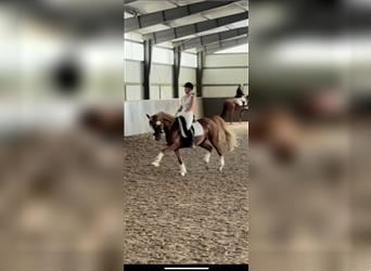Welsh D (Cob), Mare, 10 years, 14 hh, Chestnut-Red
