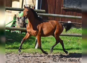Andalusian, Gelding, 2 years, 14.2 hh, Brown