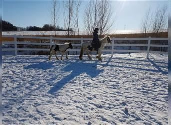 Gypsy Horse, Mare, 6 years, 13.1 hh, Pinto