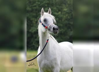 Straight Egyptian, Mare, 13 years, 15 hh, Gray