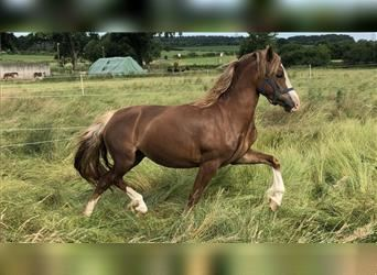 Welsh D (Cob), Mare, 3 years, 13.2 hh, Chestnut-Red