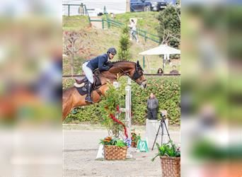 Portuguese Sport Horse, Mare, 5 years, Bay