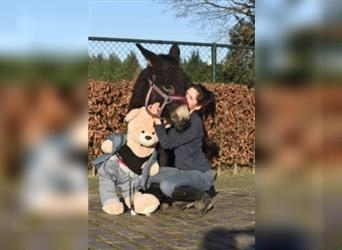 Donkey, Mare, 2 years, 11.1 hh, Brown