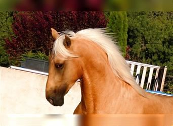 Andalusian, Gelding, 3 years, 15.1 hh