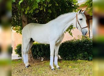 Andalusian, Gelding, 8 years, 15 hh, Gray-Dapple