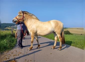 Fjord Horses, Mare, 2 years, 13.1 hh, Dun