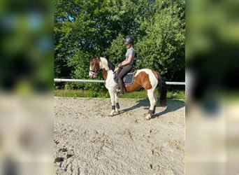 Gypsy Horse Mix, Gelding, 6 years, 15 hh, Pinto