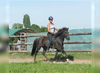 Icelandic Horse, Mare, 5 years, 14 hh, Brown