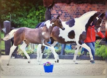 Oldenburg, Stallion, 2 years, 16.2 hh, Tobiano-all-colors
