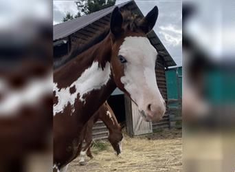Paint Horse, Mare, Foal (01/2021), 15.2 hh, Overo-all-colors