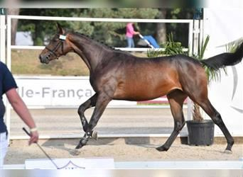 Selle Français, Mare, 2 years, 16.1 hh, Brown