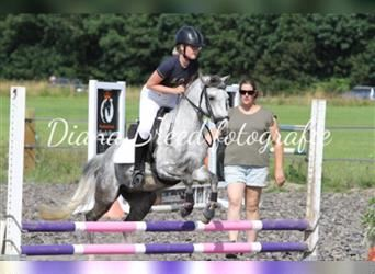 Welsh B, Mare, 7 years, 12.1 hh, Gray