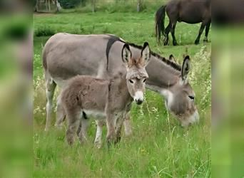 Donkey, Mare, 10 years, 10.1 hh, Grullo