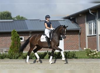 Hanoverian, Mare, 8 years, 16.1 hh, Brown
