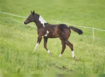 Paint Horse, Mare, Foal (05/2021), 15 hh, Tobiano-all-colors