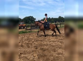 French Trotter, Gelding, 5 years, 15.2 hh, Brown