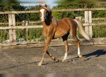 Welsh B, Mare, 2 years, 13 hh, Chestnut-Red
