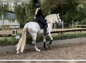 Andalusian, Gelding, 7 years, 16.1 hh, Gray