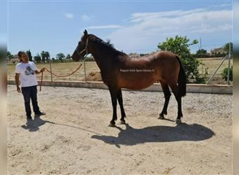 Andalusian, Mare, 12 years, 16 hh, Bay