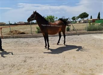 Andalusier, Stute, 12 Jahre, 163 cm, Rotbrauner