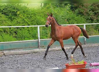 German Riding Horse, Mare, Foal (04/2021), 16.2 hh, Brown