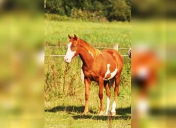 Paint Horse, Stallion, 1 year, 14.2 hh, Overo-all-colors
