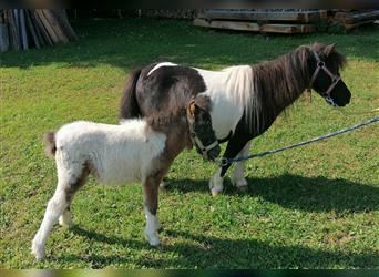 Shetland Ponies, Mare, 14 years, 9.1 hh, Pinto