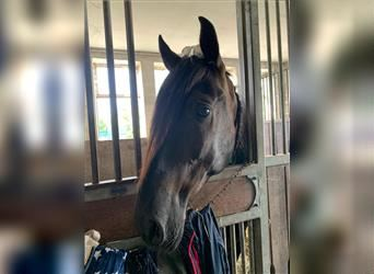 Andalusian, Gelding, 5 years, 15.2 hh, Black
