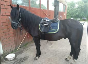 Andalusier, Wallach, 5 Jahre, 160 cm, Rappe