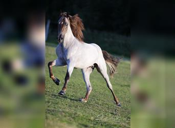 Tennessee walking horse, Stallion, 11 years, 16 hh, Roan-Red