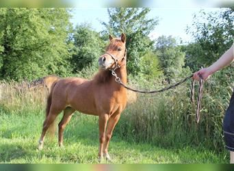 American Miniature Horse, Mare, 5 years, 8.2 hh, Chestnut-Red