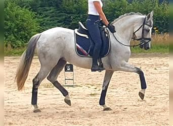 Andalusian Mix, Gelding, 11 years, 16 hh, Gray