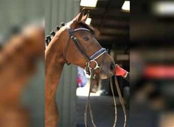 KWPN, Mare, 2 years, 15.2 hh, Brown