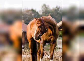 Paint Horse, Mare, 14 years, 15.1 hh, Chestnut-Red