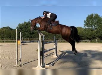 Selle Français, Mare, 9 years, 16.2 hh, Brown