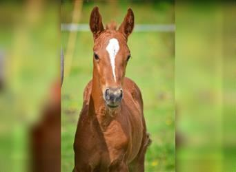 French riding pony, Mare, Foal (01/2021), 14.1 hh, Chestnut-Red