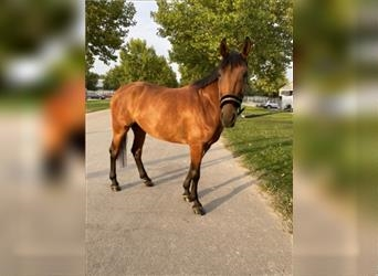 Hungarian Sport Horse Mix, Mare, 5 years, 15.2 hh, Brown