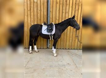 KWPN, Mare, 5 years, 16 hh, Smoky-Black