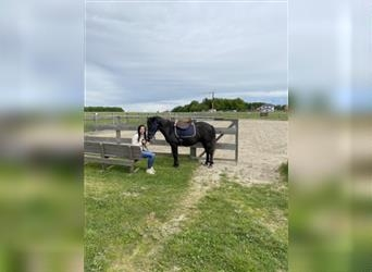Curly horse, Gelding, 2 years, 13.1 hh, Black